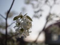 09_juneberry_flower_1