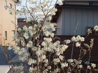 09_juneberry_flower_2