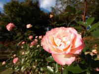 Shinwa_rosegarden_3