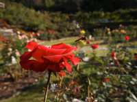 Shinwa_rosegarden_4