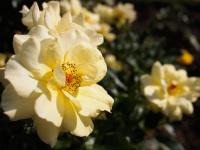 Shinwa_rosegarden_8