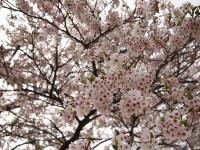Fujimiminami_sakura_2011_3