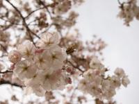 Fujimiminami_sakura_2011_4