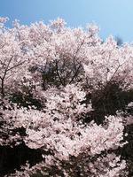 Sakura_060428_1