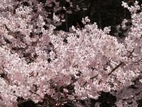 Sakura_060428_2