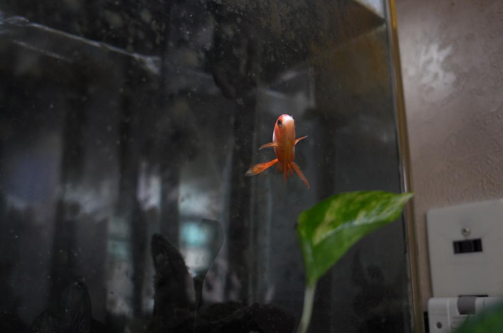 孤独な金魚