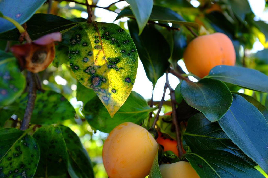 柿は葉っぱ