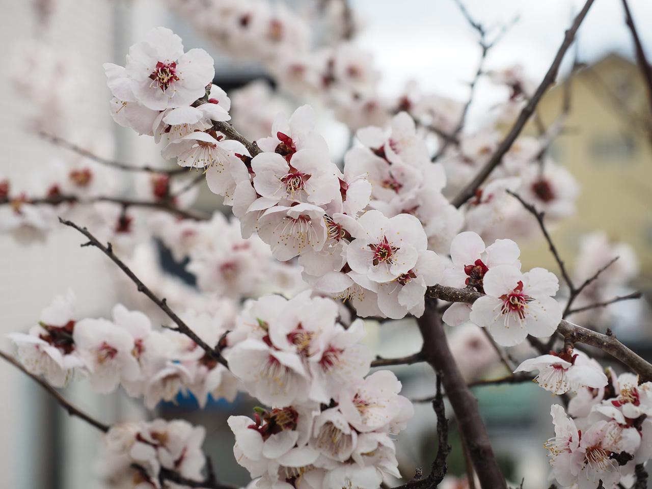 桜よりも梅だよねぇ