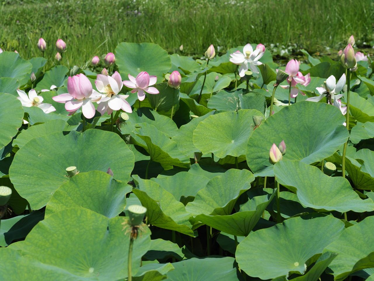池の中心で咲いている
